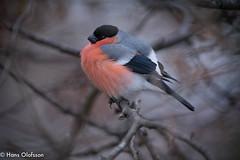 Bullfinch  /Domherre (Pyrrhula pyrrhula) (Hans Olofsson) Tags: bird bullfinch domherre fågel fåglar garden natur nature pyrrhulapyrrhula skammelstorp trädgård