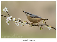 Nutty in Spring (deanmasonwp) Tags: bird birds wild wildlife nature photo photography blossom nutty nuthatch dean mason windows dorset nikon