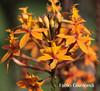 @ BALI'S BOTANIC GARDEN (fabiogis50) Tags: flower flowers fiori orchid orchidea botanicgarden nature flora