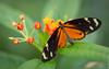 Tiger longwing butterfly (John van Beers) Tags: arnhem burgerszoo butterfly dierentuin goldenerhekale heliconiushecale tigerlongwing tijgerpassiebloemvlinder vlinder zoo