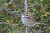 White-throated Sparrow (Alan Gutsell) Tags: birds birding alan wildlife nature texasbirds texas wildlifephoto photo coast gulf whitethroated sparrow whitethroatedsparrow emberizine