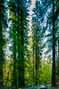 Redwoods (alfsan) Tags: sequoia