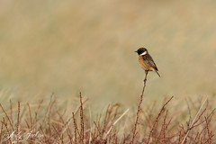 Male Stonechat (zandy1978) Tags: birds wildlife wild dunes nature natural northumberland canon 7d mkii perch clean backdrop male stonechat
