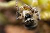Salticus scenicus ♀ (Jerome Picard) Tags: salticidae saltique salticide salticidé salticus jumpingspider araignée arthropod arachnid araignéesauteuse zebra