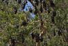 Many bats (Luke6876) Tags: bats mammal animal wildlife australianwildlife