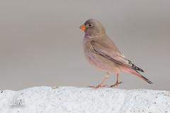 Roselin githagine - Bucanetes githagineus (Cabo de Gata, Espagne) 30 décembre 2017 (ÇhяḯṧtÖρнε) Tags: 12000s 400iso 500mm andalousie bucanetesgithagineus cabodegata cabodegatanîjar canon espagne españa f63 france fringillidés hiver passériformes roselingithagine roselingithaginebucanetesgithagineus trumpeterfinch bird oiseau almería andalucía es