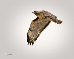 CCSTrail Red Tailed Hawk copy1 (wfgphoto) Tags: redtailedhawk inflight overhead wingpattern wings bird raptor