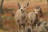 Deer (Teruhide Tomori) Tags: animal deer wild nature japan japon nara shika 奈良 日本 鹿 野生 ニホンジカ 奈良公園