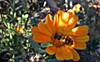 Syrphus fly on Calendula (TJ Gehling) Tags: insect diptera fly brachycera syrphidae hoverfly syrphus plant flower asterales asteraceae calendula communitygarden centennialpark fairmontpark elcerrito