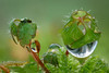 Meine kleine Welt (AchimOWL) Tags: macro makro natur nature gx80 outdoor schärfentiefe wasser wassertropfen tropfen heiter bokeh dewdrops tautropfen makrotautropfen gotas drops drop rain acqua water waterdrops macros ngc sporenkapsel sporophyt wildlife mauerdrehzahnmoos tortulamuralis moos mauer natursteinmauer dezember blattlaus