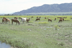 Weeds14.tif (NRCS Montana) Tags: weeds noxious leafyspurge rangeland cattle grazing