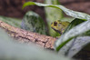 Ready for the rain (radargeek) Tags: okczoo zoo okc oklahomacity oklahoma ok frog toad leaf animal 2017 december asianclimbingtoad