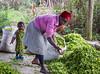 Tea plantations in Tanzania (CIFOR) Tags: foodproduction teaplantation foodsupply income womenhealth tea plantations agriculturalproducts householdexpenditure females foods foodavailability livingconditions sexualroles povertyalleviation women foodsecurity socioeconomics householdincome mufindi iringaregion tanzania tz