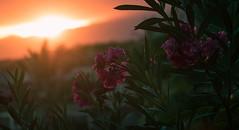 Enjoying moments of bliss (Kenzo Que) Tags: sunset sun flower flowers vibe santo antao cape verde cabo island nature porto novo canon 1dx