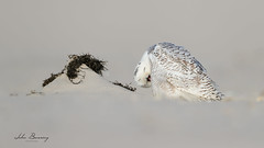 Snowy Owl (johnbacaring) Tags: snowyowl snowy snow owl wildlife nature birding birdsofprey raptor newjersey jerseyshore beach eastcoast atlantic atlanticocean
