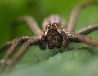 75 nursery web spider - Best2017