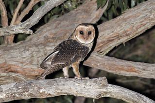 Australian Masked Owl - Tyto novaehollandiae