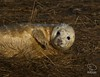 Grey Seal Pup (UK Nature Photography) Tags: seal pup wildlife lincolnshire