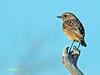 Saxicola rubicola (Tarabilla europea) (16) (eb3alfmiguel) Tags: pájaro aves passeriformes insectívoros turdidos turdidae tarabilla europea saxicola rubicola