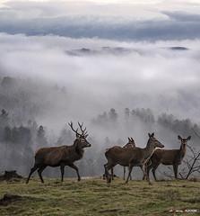 Manada de ciervos en Belatxikieta (Jabi Artaraz) Tags: jabiartaraz jartaraz zb euskoflickr ciervos pasto pradera hierba otoño bruma niebla animals nature