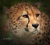 Cheetah (yadrad) Tags: cheetah bigcats dartmoorzoo dartmoorzoologicalpark zoo sparkwell devon carnivore ngc dzp