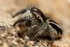 Pellenes cf. nigrociliatus (Jerome Picard) Tags: lieu pellenes salticidae france fr saltique salticidé jumpingspider araignéesauteuse arachnid arthropoda