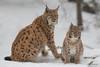 Mamma Lince con cucciolo (Mauro Gialdini) Tags: bayerischerwald lince lynxlynx