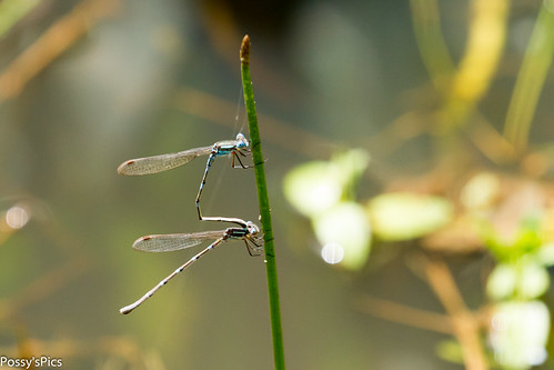 Damsel Fly?