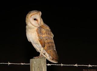 Coruja-das-torres |Common Barn-owl (Tyto alba)