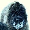 C'mon lad, give a girl a kiss! (austexican718) Tags: bouvier dog akc herdinggroup bouvierdesflandres snow portrait pet funny