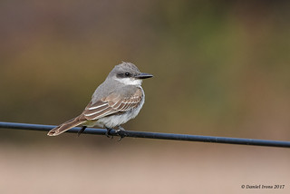 Gray Kingbird (Rare) Queen Anne's, MD.