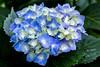 Hydrangea (sal tinoco) Tags: flower fantasticflower flowers flora floral field frora plant pollen petal park outdoors