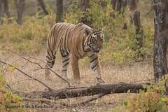 Bengal Tiger (Ian.Kate.Bruce's Wildlife) Tags: bengaltiger pantheratigris felidae tiger bigcats wildlife nature ianbruce katebruce ranthambore rajasthan india