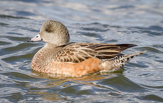 Beautiful Lady Widgeon