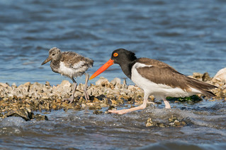 American Oyster Catcher and chick