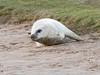 MID_0410 (mikedoylepics) Tags: seal seals greyseal donnanook lincolnshire lincolnshirewildlifetrust animals british britishwildlife d500 mammals nature nikon nikond500 wildlife wild