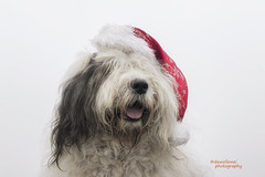 "four days to go to Christmas ""explore"" (dewollewei) Tags: oldenglishsheepdog oldenglishsheepdogs old english sheepdog sheepdogs oes bobtail dewollewei sophieandsarah scarlett christmas kerst hat explore explored dogs muts dog white black red"