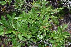 withe-rod (ophis) Tags: dipsacales adoxaceae viburnum viburnumnudum witherod