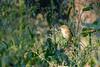 Luì piccolo...in alimentazione... (Carla@) Tags: luìpiccolo phylloscopuscollybita wildlife nature liguria italia europa mfcc canon thesunshinegroup coth alittlebeauty coth5 sunrays5