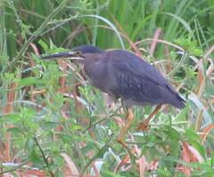 Green Heron; 20170901; PA-Colón-Gamboa (plantpollinator) Tags: pelecaniformes ardeidae butorides butoridesvirescens