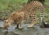 cheetah Burgerszoo BB2A6778 (j.a.kok) Tags: cheetah jachtluipaard kat acinonyxjubatus acinonyxjubates cat animal burgerszoo africa afrika predator zoogdier dier mammel