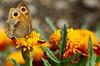 Meadow Brown Butterfly (Allan Jones Photographer) Tags: meadowbrown meadowbrownbutterfly insect allanjonesphotographer canon5d3 canonef100mmf28lmacroisusm bokeh