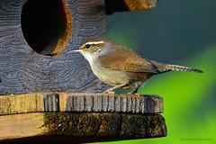 "Bewick's_Wren_04 (DonBantumPhotography.com) Tags: wildlife nature animals birds bewickswren ""donbantumphotographycom"" ""donbantumcom"" ""nikon d7200"" ""afs nikkor 200500mm f56e ed vr"""
