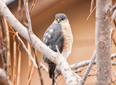 December 31, 2017 - A Sharp-shinned Hawk checks out a Thornton backyard. (Shawn Jones)
