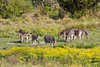 Zebra herd (M_Hauss) Tags: africa afrika südafrika southafrica safari isimangaliso wetland zebra zebras herd herde