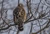 Seeing Behind You (Odonata457) Tags: ellicottcity maryland unitedstates redshouldered hawk buteolineatus centennialpark