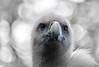 isn't she lovely (henny vogelaar) Tags: bird bigeyes vulture fluffy forbiddentocaress beautiful birdofprey browneyes bokeh color