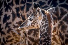 Harriet's LIttle Boy (helenehoffman) Tags: kenya conservationstatusvulnerable calf giraffacamelopardalistippelskirchi sandiegozoo tanzania kilimanjarogiraffe masaigiraffe giraffe animal coth specanimal specanimalphotooftheday