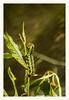 La oruga (Nico Cascante) Tags: gusano oruga worm nikon d80 nature naturaleza green verde ecuador nanegal macro insect insecto animal