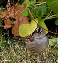Ready to pounce (mariposa lily) Tags: bird birds sparrow whitecrownedsparrow nikon nikond3300 d3300 sparrows